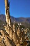 Nieżywa agawy roślina Obrazy Royalty Free