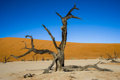 Nieżywa Akacja w Vlei Namibia - Sossusvlei - fotografia stock