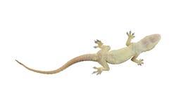 Nieżywa jaszczurka gad na białym tle z ścinek ścieżkami Zdjęcia Stock