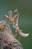 Nieżywa liścia modlenia modliszka (deroplatys dessicata) Zdjęcia Royalty Free