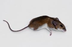 nieżywa mysz Obrazy Stock