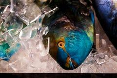 Nieżywa papugi ryba obrazy royalty free