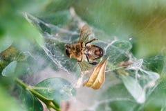 Nieżywa pszczoła w sieci zakończeniu up fotografia royalty free