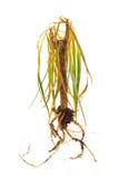 Nieżywa roślina pokazywać korzenie nad biel zdjęcia royalty free