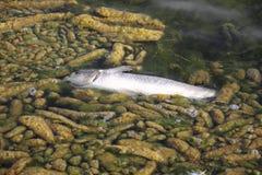 Nieżywa ryba Obraz Royalty Free