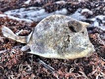 Nieżywa ryba na Floryda plaży obraz royalty free
