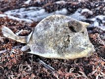 Nieżywa ryba na Floryda plaży obrazy stock