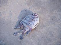 Nieżywa ryba umierał na mieliźnie na plaży Fotografia Royalty Free