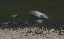 Nieżywa ryba unosząca się w ciemnej wodzie Obraz Royalty Free