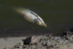 Nieżywa ryba unosząca się w ciemnej wodzie, Zdjęcie Royalty Free