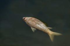 Nieżywa ryba unosząca się w ciemnej wodzie Fotografia Royalty Free