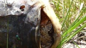 Nieżywa ryba z dżdżownicami zdjęcie wideo