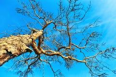 Nieżywa sosna zdjęcie royalty free
