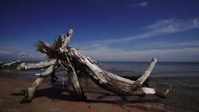 Nieżywa sosna na plażowym przylądku Kolka, morze bałtyckie, Latvia zbiory wideo
