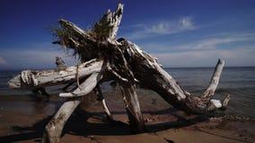 Nieżywa sosna na plażowym przylądku Kolka, morze bałtyckie, Latvia zdjęcie wideo