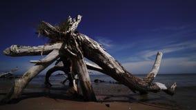 Nieżywa sosna na plażowym przylądku Kolka, morze bałtyckie, Latvia zbiory