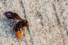 Nieżywe pszczoły na cementowej podłoga Zdjęcie Royalty Free