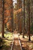 nieżywego lasu wiodące ścieżki sosny Fotografia Stock