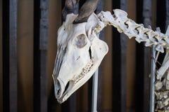 Nieżywego zwierzęcia czaszka Zdjęcia Royalty Free