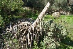 Nieżywej agawy Americana roślina, wiosna sezon, Grecja Fotografia Royalty Free