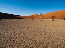 Nieżywi akacjowi drzewa i czerwone diuny Namib pustynia Obrazy Royalty Free