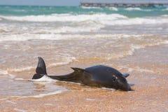 Nieżywi bottlenose delfiny na brzeg piaskowata plaża Fotografia Royalty Free