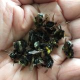 Nieżywi bumblebees zdjęcia stock