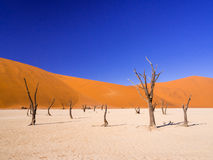 Nieżywi Camelthorn drzewa w Nieżywym Vlei, Namibia obraz stock