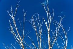 Nieżywi drzewa Obrazy Royalty Free