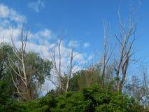 Nieżywi drzewa wśród bujny zieleni roślinności zdjęcie stock