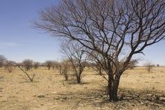 Nieżywi kłujący akacjowi drzewa rozprzestrzeniają za jałowym padoku dur przez fotografia royalty free