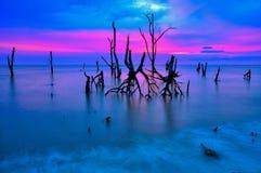 Nieżywi namorzynowi drzewa na plaży Obrazy Stock