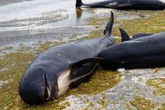 Nieżywi pilotowi wieloryby zamknięci w górę pożegnanie mierzei na przy północną poradą Nowa Zealand Południowa wyspa obraz stock