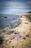 Nieżywi purpurowi księżyc jellyfish na koralu wyrzucać na brzeg obraz royalty free