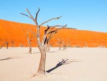 Nieżywi wielbłądzi cierniowi drzewa w Deadvlei suszą nieckę z krakingową ziemią po środku Namib pustyni czerwonych diun, Sossusvl Fotografia Stock