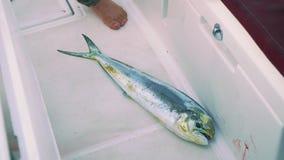 Nieżywy świeży złapany rybi ono ślizga się na jachtu pokładzie zbiory