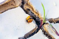 Nieżywy biedronki cought w wysuszonej, krakingowej ziemi, Susza i zmiana klimatu niebezpieczeństwa pojęcie obrazy stock