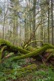 Nieżywy dębowy łgarski mech zawijający Zdjęcia Stock