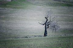 Nieżywy dębowy drzewo w polu Zdjęcia Royalty Free