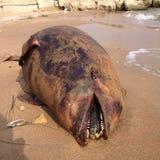 Nieżywy delfin, schronienie morświn na plaży, Obraz Royalty Free
