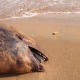 Nieżywy delfin, schronienie morświn na plaży, Obrazy Stock