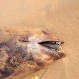 Nieżywy delfin, schronienie morświn na plaży, Fotografia Stock