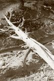 Nieżywy drewno w czarny i biały Zdjęcia Stock