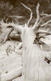 Nieżywy drewno w czarny i biały Obraz Royalty Free
