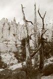 Nieżywy drewno w czarny i biały Zdjęcie Royalty Free