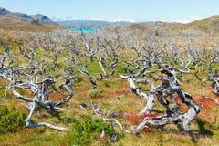 Nieżywy drzewny las blisko rogów rogów Góruję Paine, Pa Zdjęcie Royalty Free