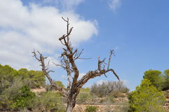Nieżywy drzewo obraz royalty free