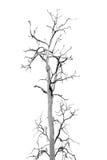 Nieżywy drzewo bez liści zdjęcia stock