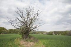 Nieżywy drzewo po środku pola w wiośnie z chmurzącym niebem Obrazy Royalty Free