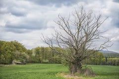 Nieżywy drzewo po środku pola z wiosną barwił drzewa Zdjęcie Royalty Free